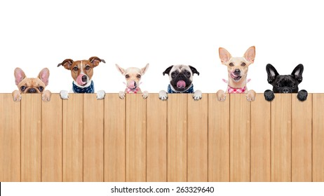 row of dogs as a group or team , all hungry and tongue sticking out , behind a wall of wood , isolated on white background