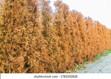 Row of dried brown conifer plants as hedge around garden