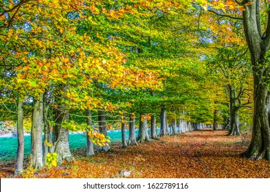Row of English beech trees in autumn with leaves on the ground.