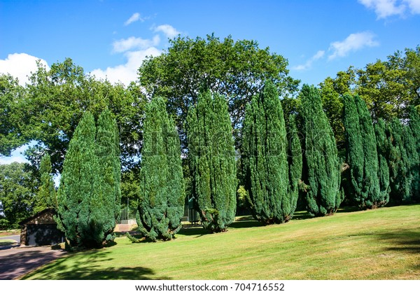 A row of evergreen conifer trees in summer