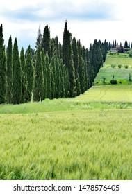 Row of evergreen cypress trees - Tuscany, Italy