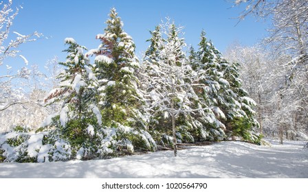 A row of evergreen trees with everything covered in white fluffly snow on a sunny afternoon with a bright blue sky.  Higher saturation to make the color pop.