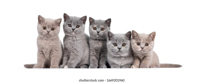Lilac British Shorthair Cat Images Stock Photos Vectors Shutterstock