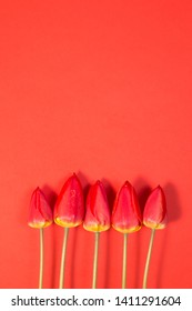 Row of five Red Tulips Isolated on rosy Color Background