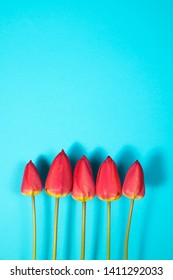 Row of five Red Tulips Isolated on blue Color Background