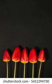 Row of five Red Tulips Isolated on black Color Background