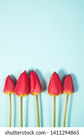 Row of five Red Tulips Isolated on azure Color Background