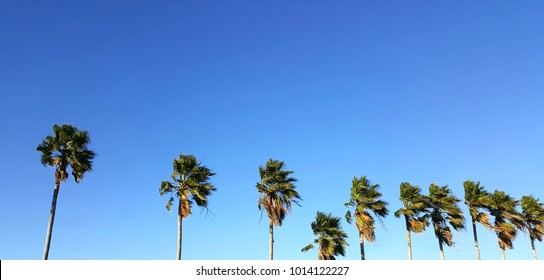Row of Florida palm trees against a very blue sky