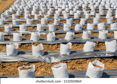 Row fo Coconut coir in nursery white bag for farm with fertigation , irrigation system to be used for growing strawberries.