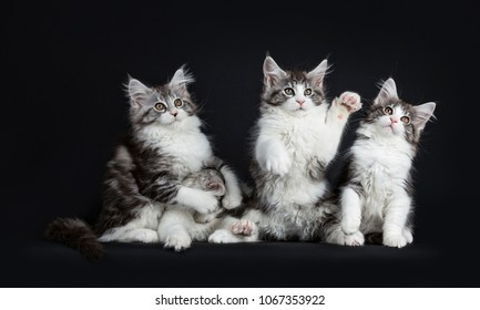 Row of four playing black tabby with white Maine Coons cats / kittens looking in different directions isolated on black background