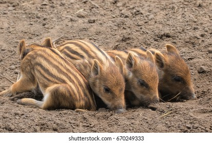 row of four wild boar piglets (sus scrofa) lying in the dirt, one facing backwards, odd one out, black sheep of the family