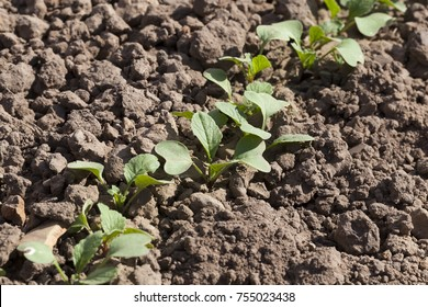 a row of fresh cucumber sprouts on a plantation, a close-up photo on an agricultural field