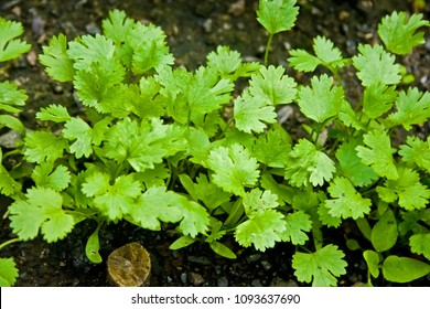 A row of fresh green coriander grows in the garden on the bed