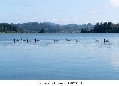 Row of geese all the way across the image at sunset on Clear Lake in rural Coastal Oregon.