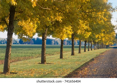 A row of golden trees lines a long driveway.