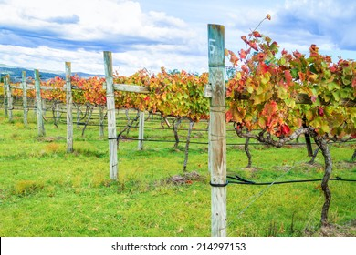 Row of grape vines with leaves in glorious autumn colours. Taken in the Granite Belt wine region of Queensland, Australia