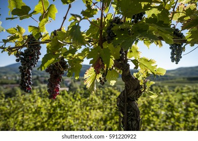 Row Of Grapevine In Backlit With Blue Sky And Bis Ripe Bunches On The Plant