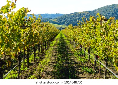 Row of Grapevines in Napa Valley California