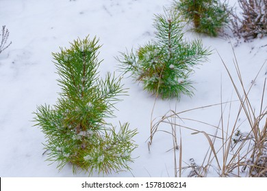 A row of green pines grows in the winter forest. Young trees and winter forest. Forestry and reforestation.