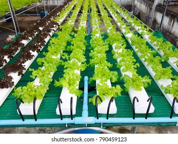 Row of green plant, Green Oak and Red Oak, in Hydroponic vegetables farm