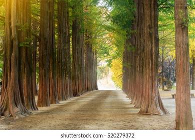 Row of green trees in Nami Island, Korea.(artificial light)