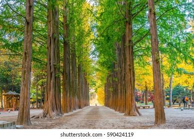 Row of green trees in Nami Island, Korea.
