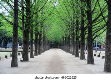 Row of Green Trees in Nami Island, Seoul, South Korea