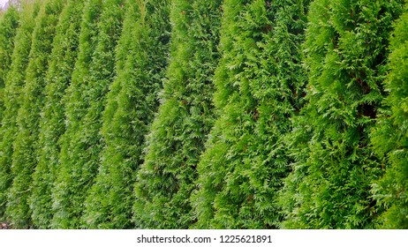 Row of green trees in the park. Row of thuja trees