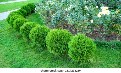 Row of green trees shrubs in the city park. Row of thuja trees. globular thuja Danica