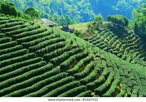 Row of green-tea trees in farm