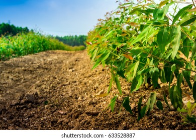 Row Growth Eucalyptus Tree Plantation Stock Photo Edit Now