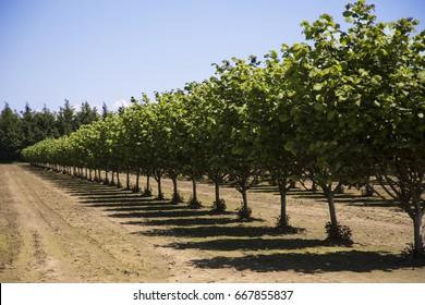 Row of Hazelnut Trees in Orchard, Rich Soil, Dark Trunks, Green Leaves, Vivid Blue Sky, Early Spring, Horizontal, Daytime – Willamette Valley, Oregon
