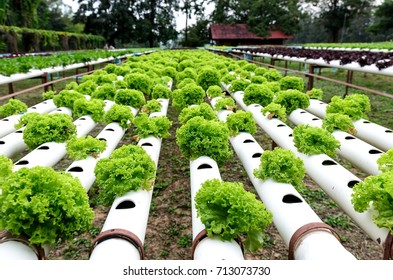 Row of Hydroponic vegetables outdoor plantation.