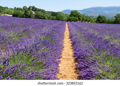 row of lavender field with summer blue sky, France