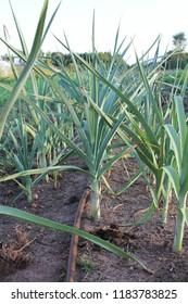 Row of Leeks in a Field