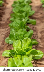Row of lettuce cultivated in a farm
