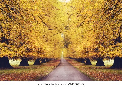 Row of Lime Trees in Autumn