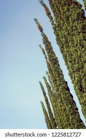 Row of Mediterranean cypress Trees or also known as Italian cypress Trees, or Pencil Pines