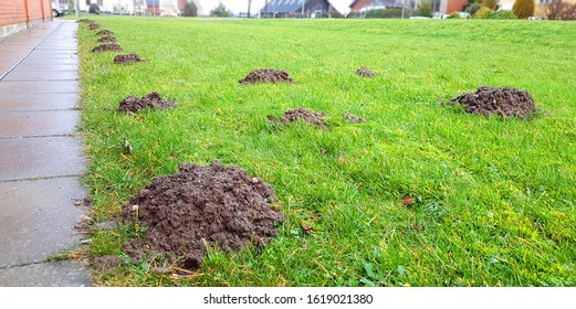 A row of mole hills has damaged the lawn