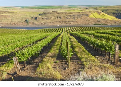 Row of new vines in a vineyard in the Columbia river gorge OR.