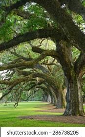a row of old oak tree from a plantation near Charleston, south carolina
