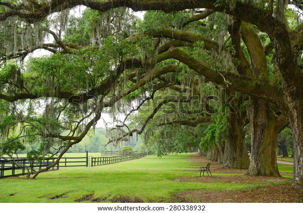 a row of old oak tree from a plantation near Charleston, south carolina