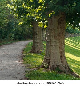 A row of old plane trees planted beside a curving footpath.  The trees are obviously often pruned to keep them short.