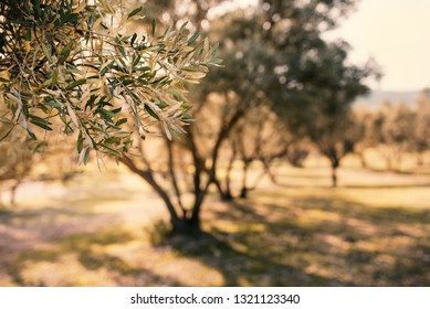 Row of olive trees in Morocco. Traditional plantation of olives tree. Mediterranean olive field. Cloudy sky with sun. Concept of agricultural.