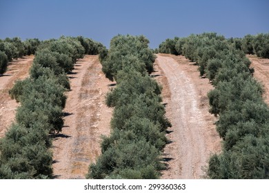 Row of olive trees in Spain