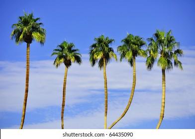 Row Palm Trees against petty blue sky