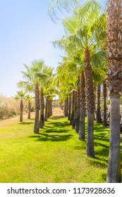 A row of palm trees forming a walkway and vanishing point on a sunny summer day in Isla Canela, Ayamonte, Andlaucia, Spain. The grass in green and the shadows make a nice pattern.