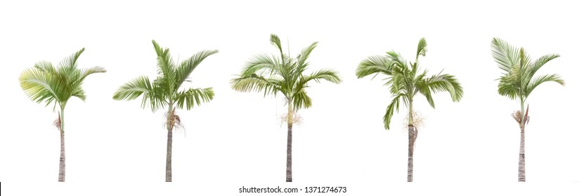 A row of Palm trees isolated on white background