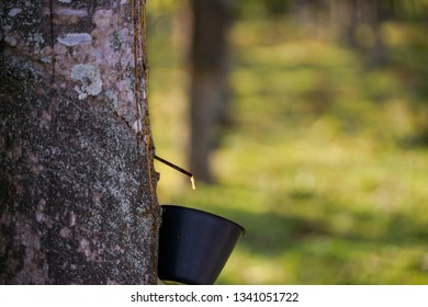Row of para rubber tree in plantation Rubber tapping.