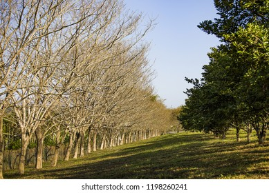 Row of para rubber trees in winter